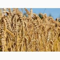 Куплю оптом кукурузу, пшеницу, ячмень, рожь, овес