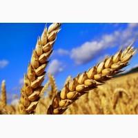 Закупаем пшеницу! Черниговская область