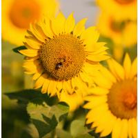 Семена подсолнечника гибрид ЛГ 50505 (LG 50505)