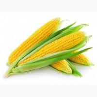 Насіння кукурудзи Дніпровський 181 СВ