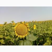 Семена подсолнечника ЛГ 5633 КЛ Лимагрейн под Евролайтинг