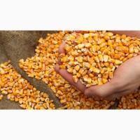 Куплю кукурудзу, зернові