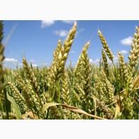 Продам насіння озимої пшениці сорту Патрас