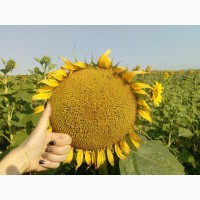 Семена подсолнуха ЛГ 5665 М Лимагрейн