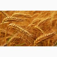 Куплю пшеницу разноклассовую дорого