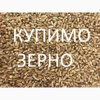 Закуповуємо на постійній основі пшеницю