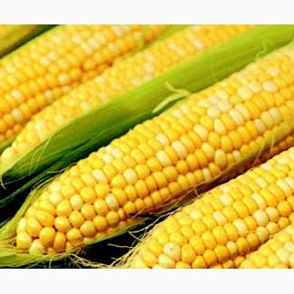 Насіння кукурудзи Білозірський 295 СВ