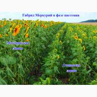 Насіння соняшника гібриди Меркурій / семена подсолнечника - гибрид Меркурий