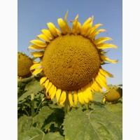 Семена подсолнечника ЛГ 5665 М от Лимагрейн