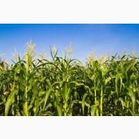 Пивиха ФАО 180 семена кукурузы