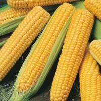 Продам семена кукурузы Пачаевский, Хотин, Збруч, МАГ, Яровец, Зоряна, Кремень, Днепровский