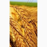 Пшениця озима Нива одеська еліта
