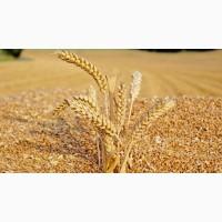 Закупаем пшеницу 2 кл, 3 кл, фураж, согласно ГОСТу