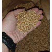 Продам семена озимой мягкой пшеницы FARREL, канадский трансгенный сорт