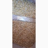 Семена ячменя ADDISON канадский трансгенный сорт пивоваренный (элита)