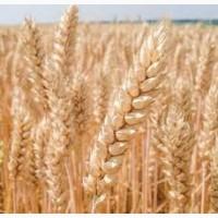 Продам насіняння озимої пшениці - Богдана