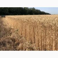 Озимая мягкая пшеница Шпаловка