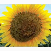 Насіння соняшника ЛГ 5377 ( LG 5377)