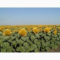 Продам семена подсолнечника гибрида Euralis Аламо