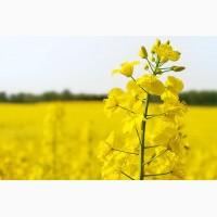 На постоянной основе купим рапс с ГМО и без, дорого