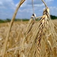 Семена ячменя озимого Майбрид-1реп (Заатен Юнион)