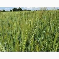 Продам пшеницю 2, 3 класу