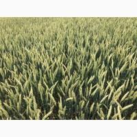 Семена канадской озимой пшеницы Толедо, , Фарел, Макино, Днепропетровская
