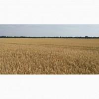 Насіння пшениці Скаген (Австрія) перша репродукція