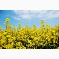 Компания Закупит Рапс без ГМО, по Хорошей Цене, на всей территории Украины