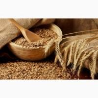 Куплю пшеницу фураж в больших количествах