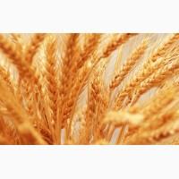 Компания дорого, быстро и качественно закупает пшеницу