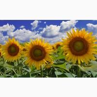 Насіння гібридів соняшнику АТІЛЛА (95-100дн) 2019 року урожаю