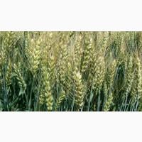 Продам насіння озимої пшениці - Катруся одеська