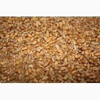 Проблемную пшеницу куплю