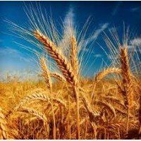 Закупаем пшеницу 2, 3, 4, 5, 6 классов, постоянно Хорошие цены, на всей территории Украины