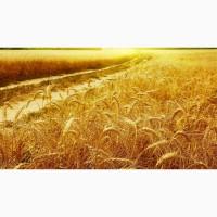 Предприятие закупает пшеницу фураж