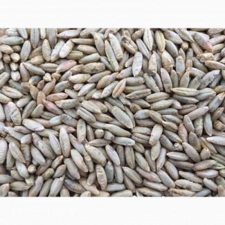 Продам високоякісне насіння жита озимого сорту «Синтетик-38» - еліта, перша репродукція