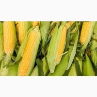 Куплю кукурузу, ячмень, рожь, овес, пшеницу