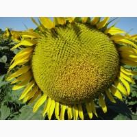 Український F1 (105 – 108 дн) насіння соняшника