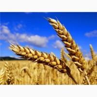 Закупаем пшеницу. Закуповуємо пшеницю