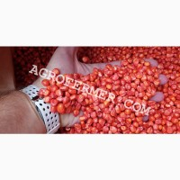 Семена кукурузы Catalina ФАО 260 канадский трансгенный гибрид