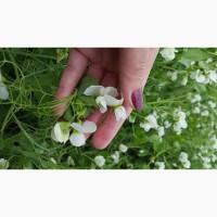 Продам семена гороха озимого Мороз (Сербия) Посевной материал урожай 2019