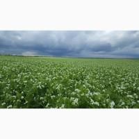 Продам семена гороха озимого Мороз Посевной материал урожай 2019