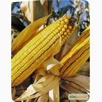 Кукуруза Фруктис (ориг.Евралис Семанс) ФАО 330 посевной материал