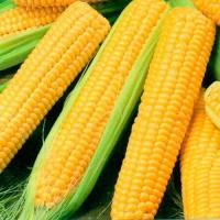Семена кукурузы. Импортная и украинская селекция. Черкассы