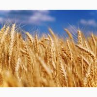 Куплю зерновые. Скупка зерновых культур