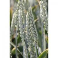 Продам насіння озимої пшениці - Артист