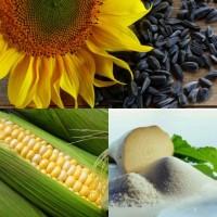 Пропонуємо високоврожайний гібрид кукурудзи ВН 6763 (ФАО 320)