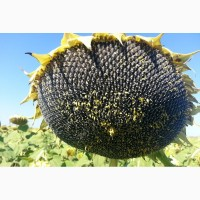 Продамо насіння соняшнику під гранстар