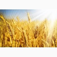 Велика компанія на вигідних умовах закуповує пшеницю